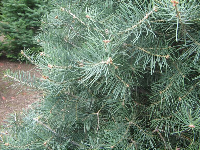 Concolor Fir Trees