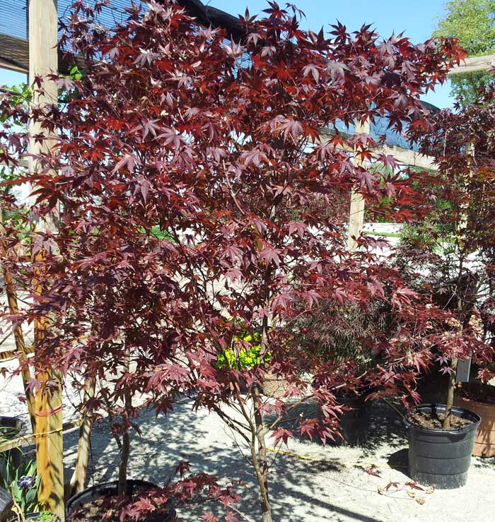 Japanese Maple Trees For Sale Buy Japanese Maples