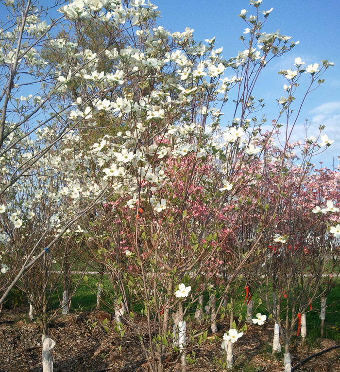 Flowering dogwood trees indiana hoosier home and garden white dogwood mightylinksfo