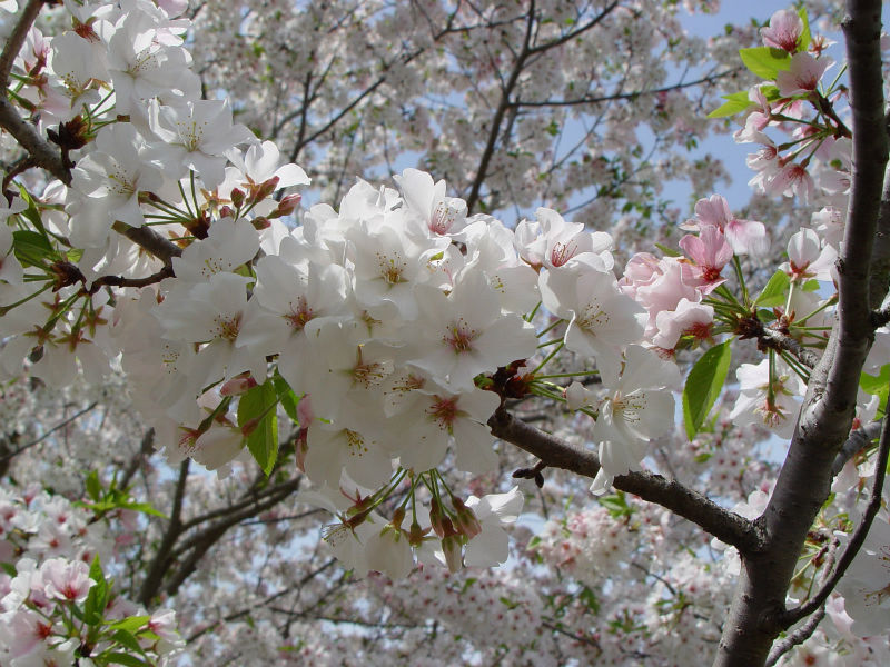 Yoshino Cherry Bloom