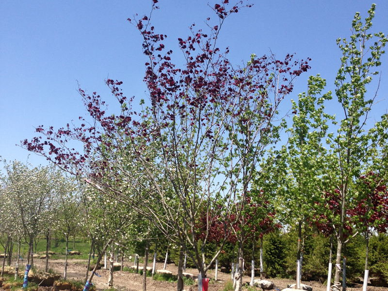 Clump Forest Pansy Redbud