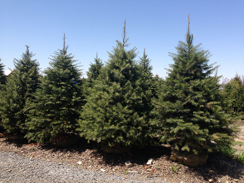 Concolor firs concolor fir trees for sale buy white firs for Mature pine trees