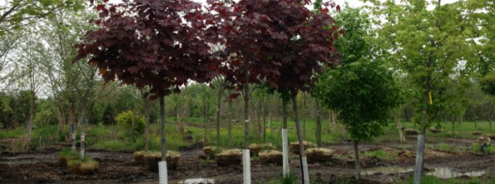 Maple trees for sale indiana buy shade trees hoosier for Maple trees for sale