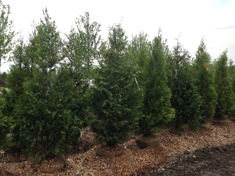Green giant arborvitaes for sale hoosier home garden Green giant arborvitae