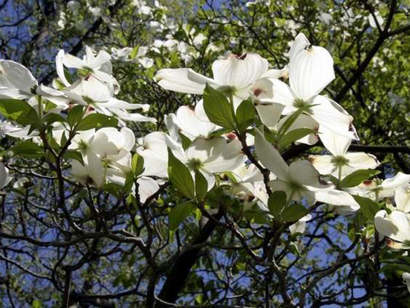 Kousa dogwood trees clump dogwood trees for sale buy kousas kousa dogwood mightylinksfo