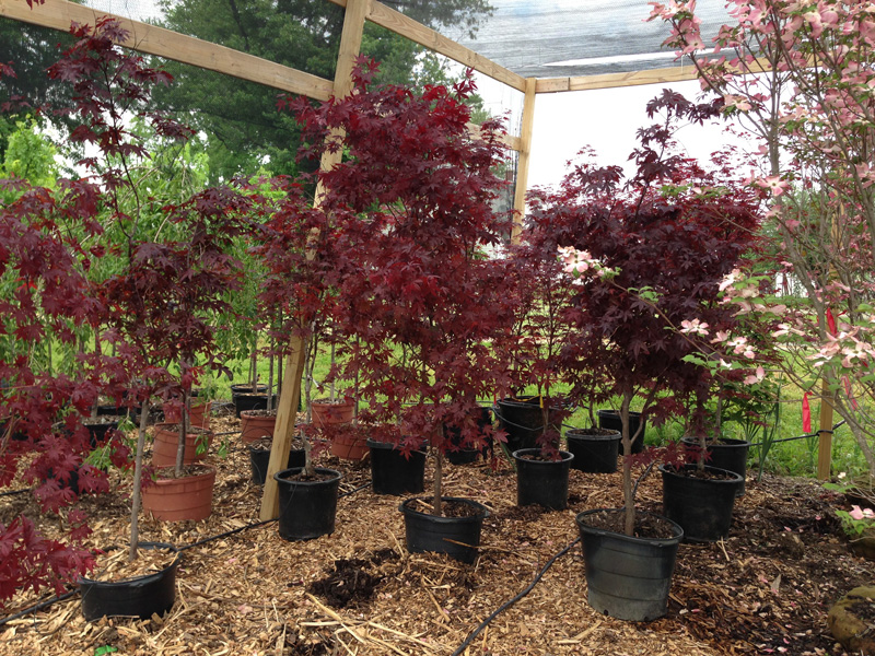 Large Japanese Maples