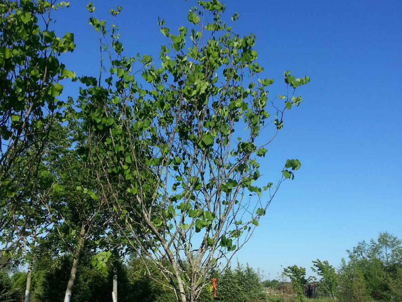 Texas Whitebud trees for sale