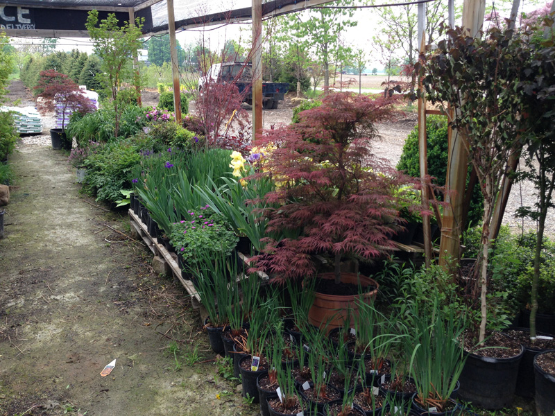 Japanese maple trees for sale buy japanese maples for Maple trees for sale