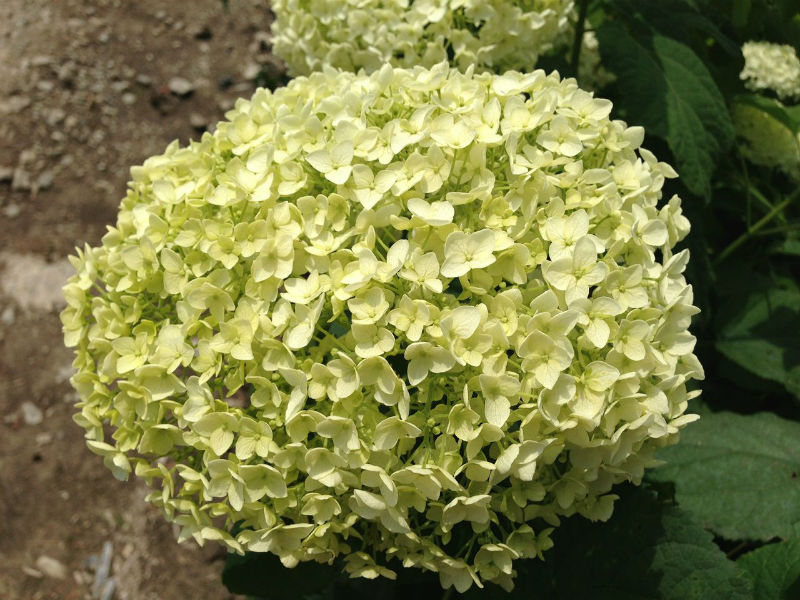 Image gallery hydrangea annabelle for sale for Annabelle hydrangea
