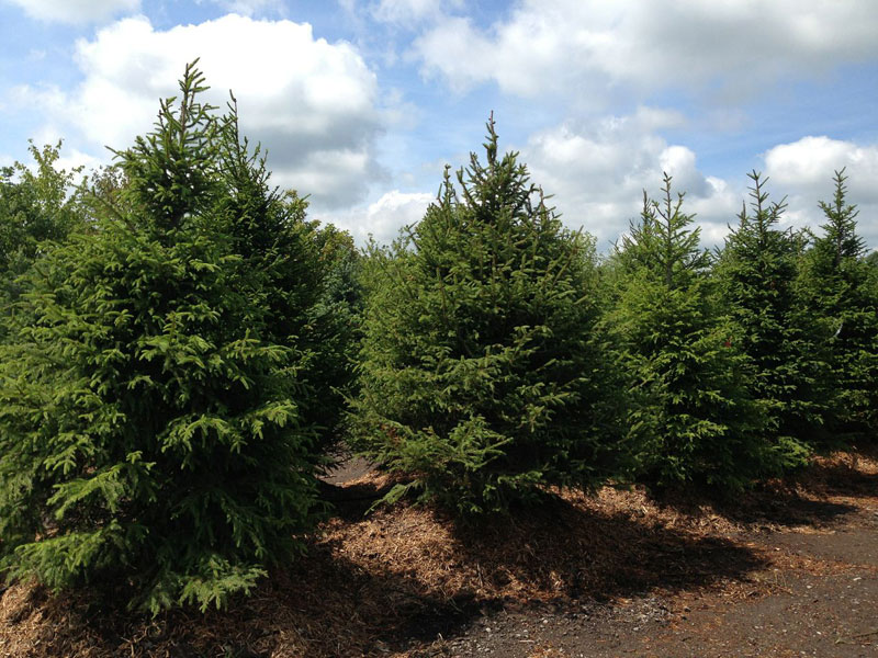 Buy Norway Spruce