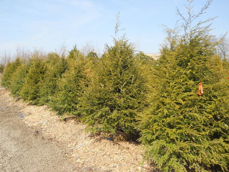 Canadian Hemlock Trees