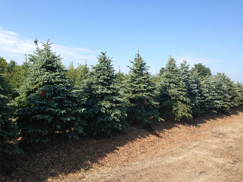 Colorado Blue Spruce Evergreens