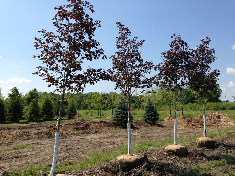 Crimson king maple red maple trees for sale buy maples for Maple trees for sale