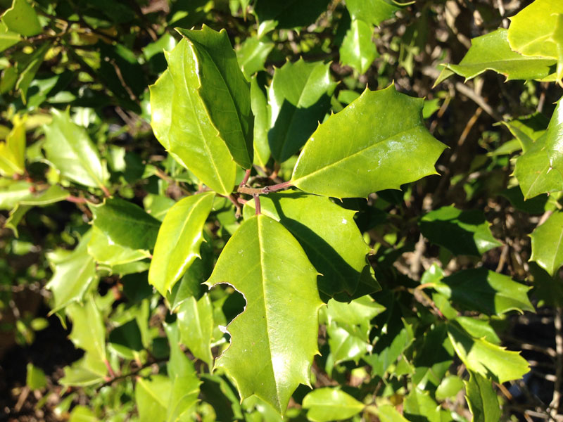 American Holly leaf