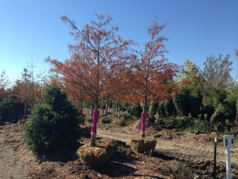 Bald Cypress Trees for Sale