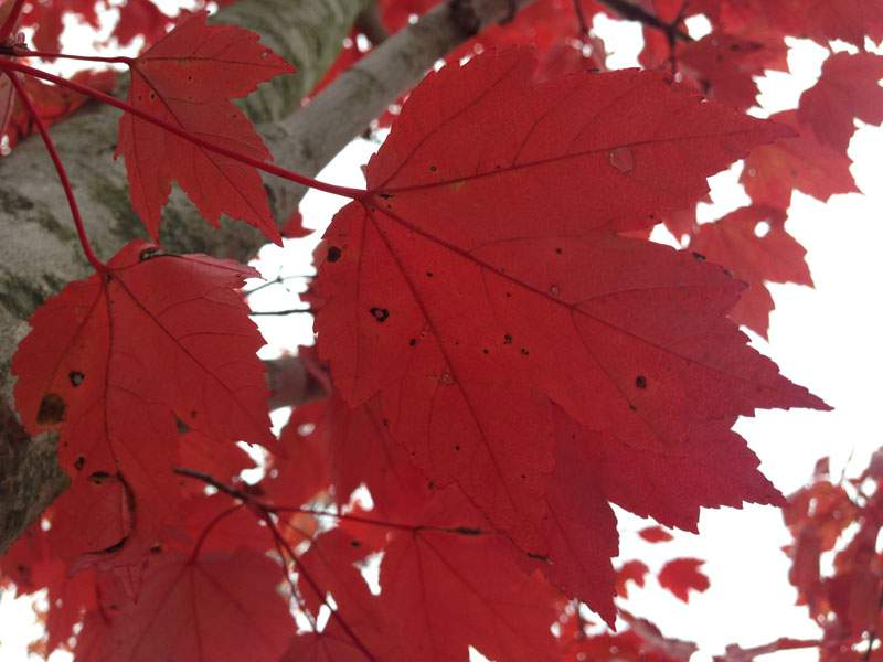 October Glory Maple Trees for Sale