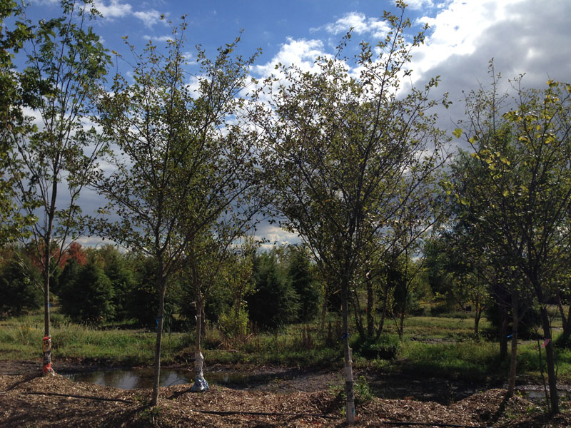 Winter King Hawthorn Trees Buy Hawthorns Trees Online