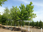 Maple Trees Specials