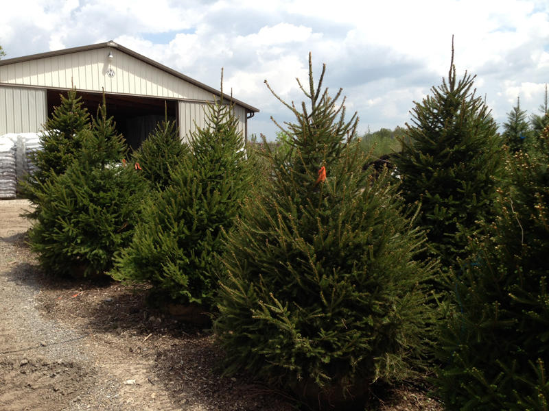 Norway spruce trees fast growing spruce trees buy spruce for Purchase trees