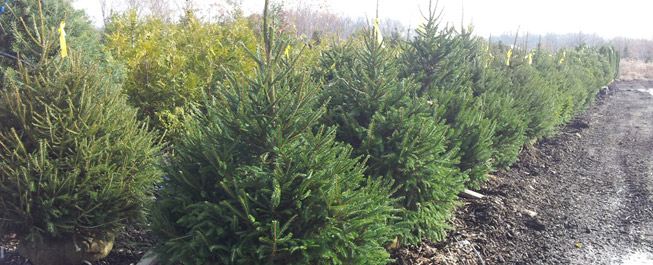 4 5 Norway Spruce Tree Special