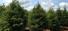 Indiana Evergreen Trees