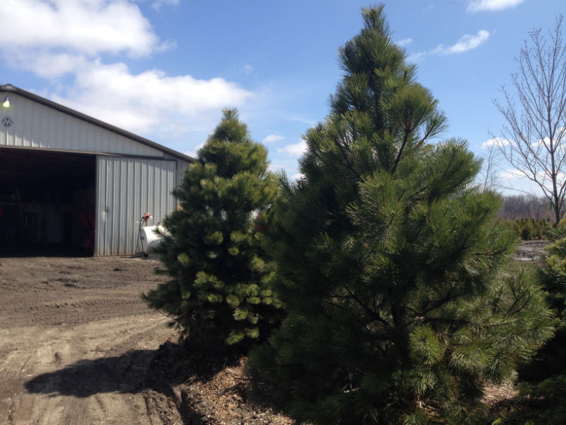Austrian Pine Trees for sale