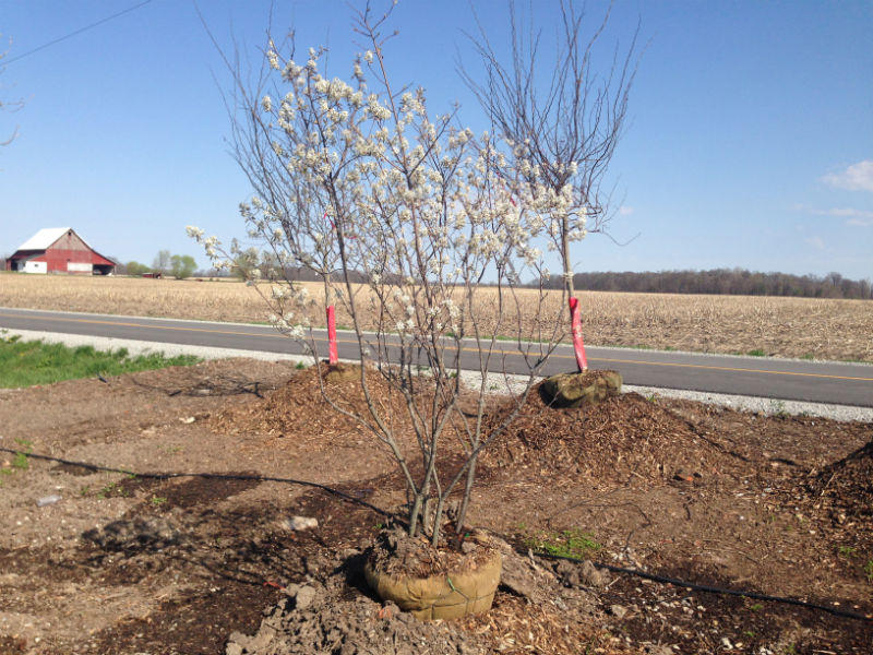 Autumn Brilliance Serviceberry Trees for Sale