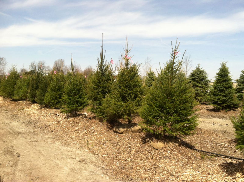 Clearance Norway Spruce