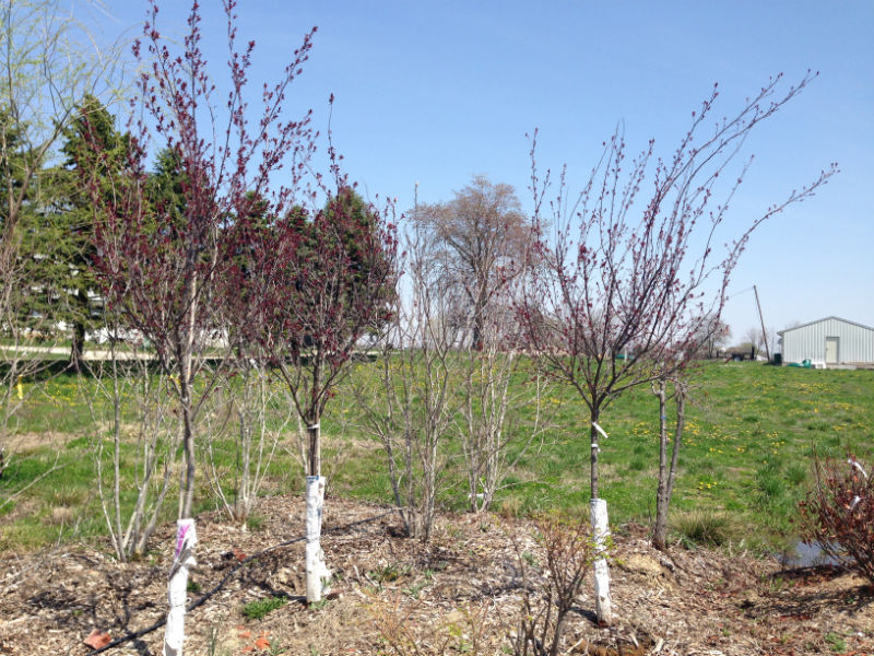Purple Leaf Plum Trees for Sale