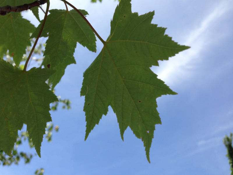 Bowhall Maple Leaf