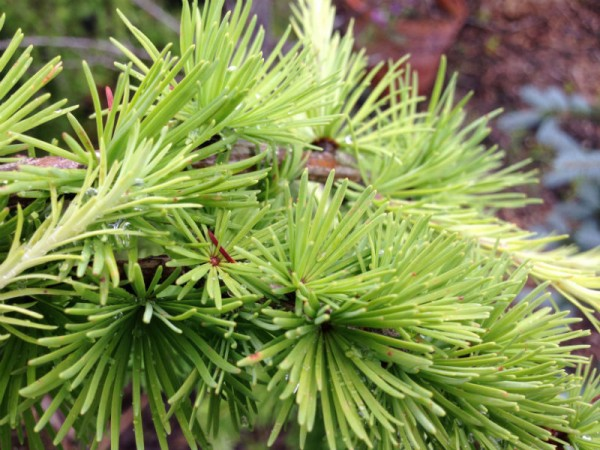 Weeping Norway Spruce trees for sale