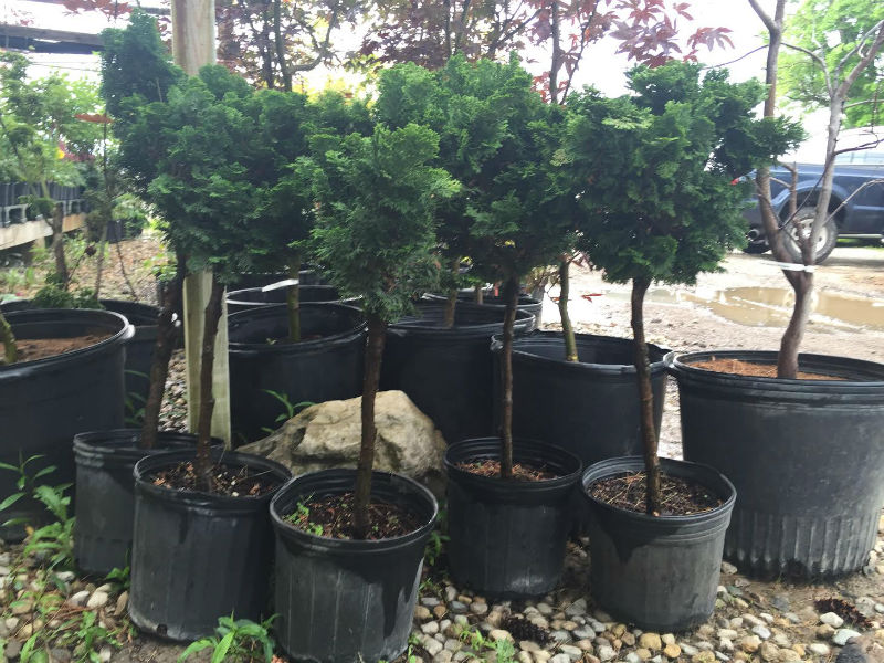 Hinoki Cypress Tree