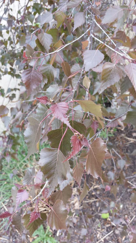 Royal Frost Birch Tree Leaves