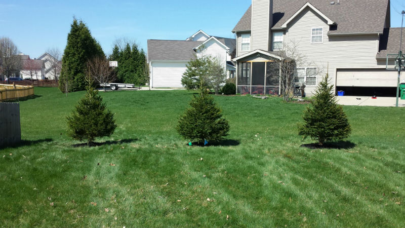 Small Spruce Trees